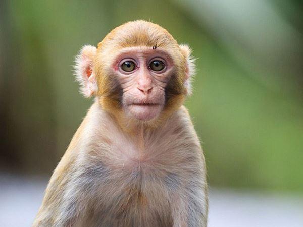 Mơ thấy khỉ đánh số nào xác suất lô về cao nhất? Là điềm gì?