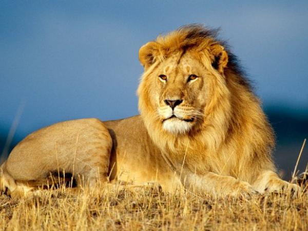 Nằm mơ thấy sư tử đánh con gì có điềm báo gì